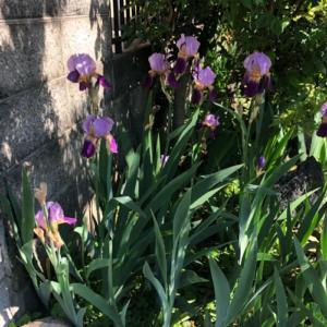 あやめ・しょうぶ・カキツバタ。どれかは分からないが紫の綺麗な花